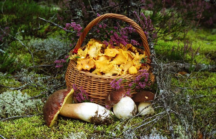 how to grow chanterelle mushrooms 004