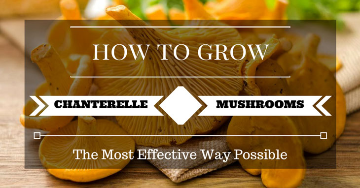 how to grow chanterelle mushrooms