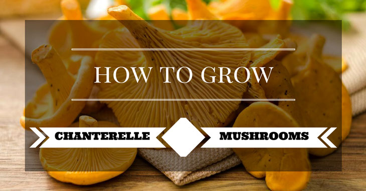 how to grow chanterelle mushrooms 00