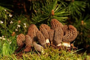 how to grow morel mushrooms 005