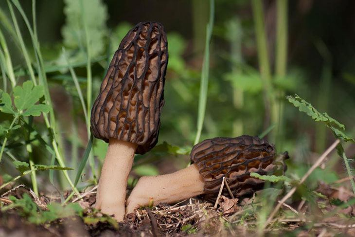 how to grow morel mushrooms 010