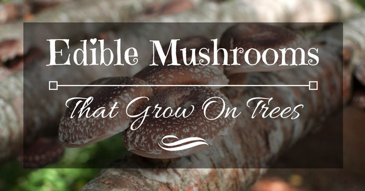 endible mushrooms that grow on trees