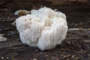 edible mushrooms that grow on trees Bearded Tooth