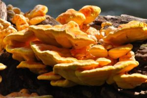 """ edible mushrooms that grow on trees Chicken of the Woods"