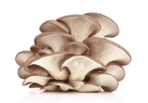 edible mushrooms that grow on trees oyster mushroom
