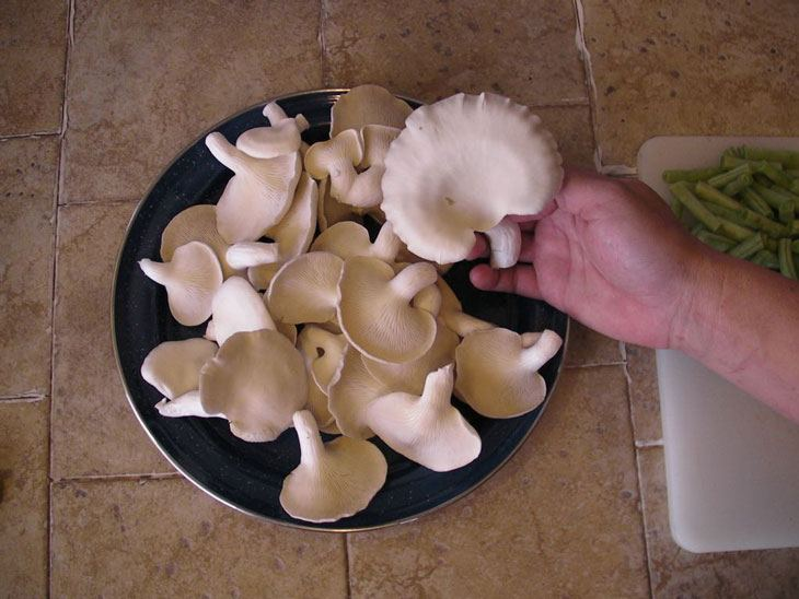 how to grow oyster mushrooms 016