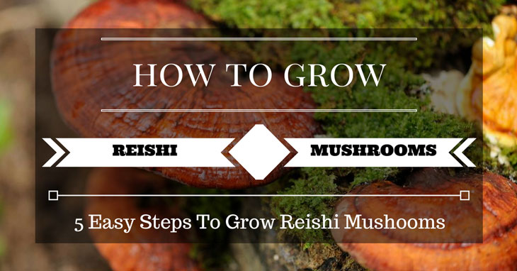 growing reishi mushrooms