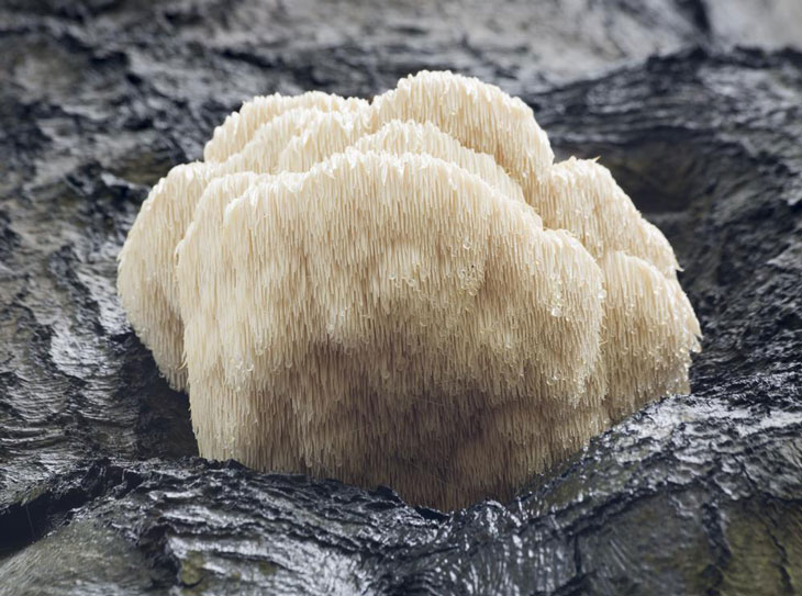 Growing Lion's Mane Mushroom 005