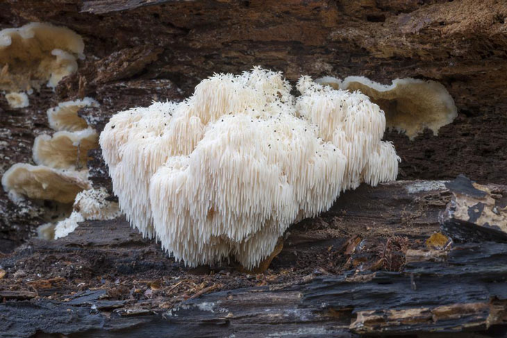 Growing Lion's Mane Mushroom 006