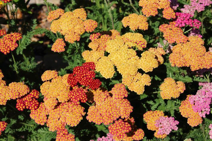 Plants for Clay Soil with Poor Drainage Achillea