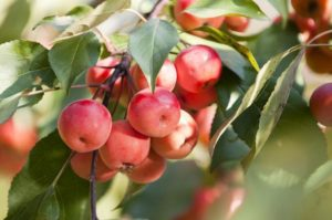 Plants for Clay Soil with Poor Drainage Crab apples