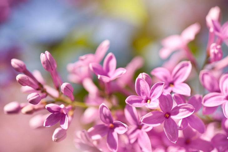 Plants for Clay Soil with Poor Drainage Syringa vulgaris (Lilac)