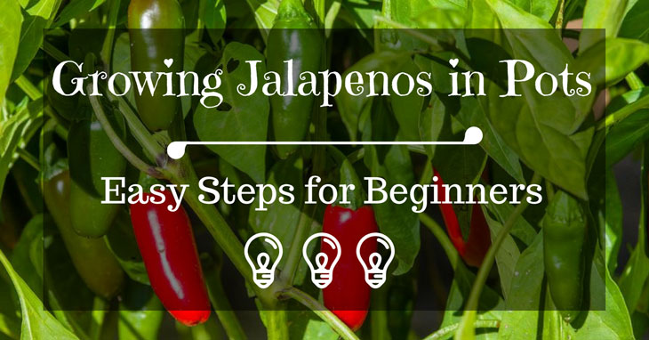 Growing Jalapenos in Pots