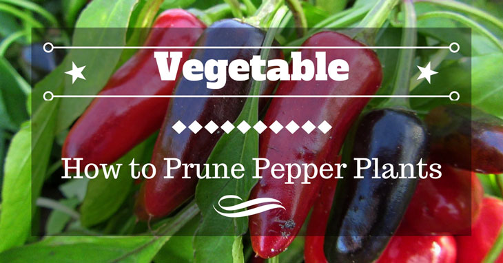 how to prune pepper plants