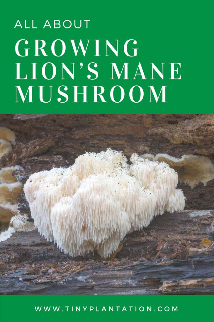 5 Surprisingly Easy Steps to Growing Lion's Mane Mushroom