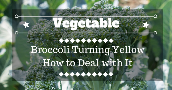 Broccoli Turning Yellow