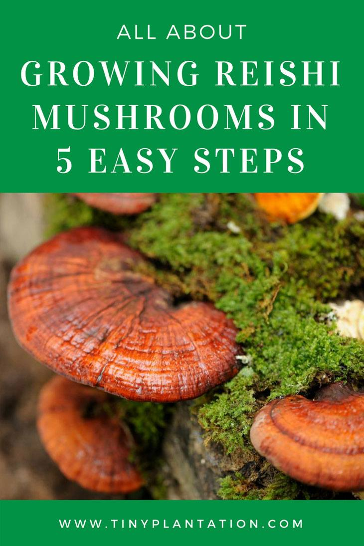 Growing Reishi Mushrooms in 5 Easy Steps