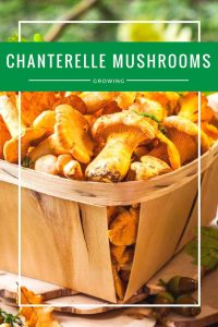 How To Grow Chanterelle Mushrooms – The Most Effective Way Possible!