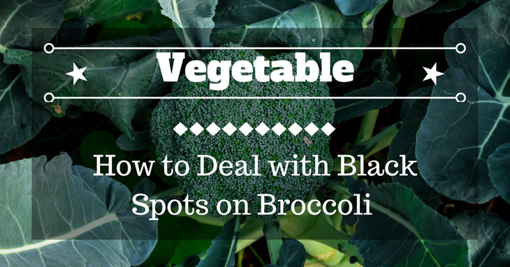black spots on broccoli