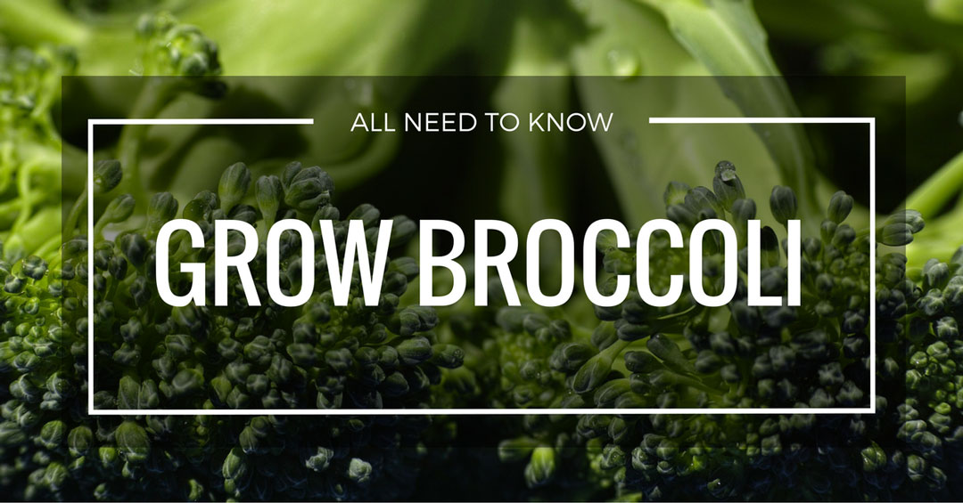 grow broccoli page