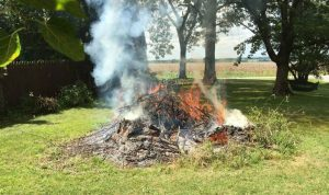 how to get rid of pokeweed - Slash and Burn