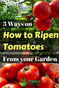 how to ripen tomatoes - Pin it