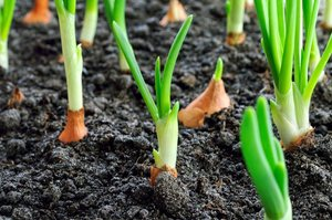 how to plant onions - Planting Onions by Seeding