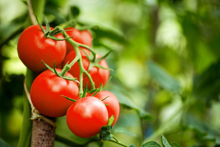 how to grow tomatoes 001