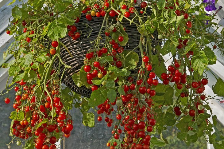 how to grow tomatoes - Growing it on Your Window