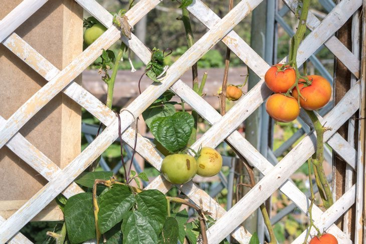 how to grow tomatoes - Tomato Fence