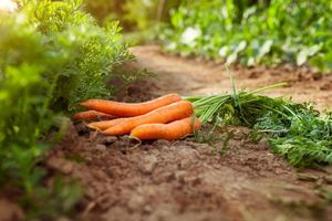 when are carrots ready to pick - Check the Length of the Carrot