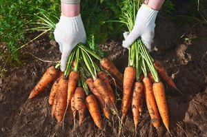 when are carrots ready to pick - Checking the Planting Season/ Planting Date