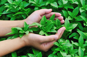 how to grow basil - Harvesting Stage