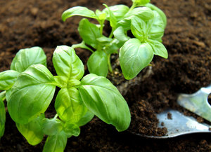 how to grow basil - Planting Stage